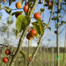 biologische-fruitbomen